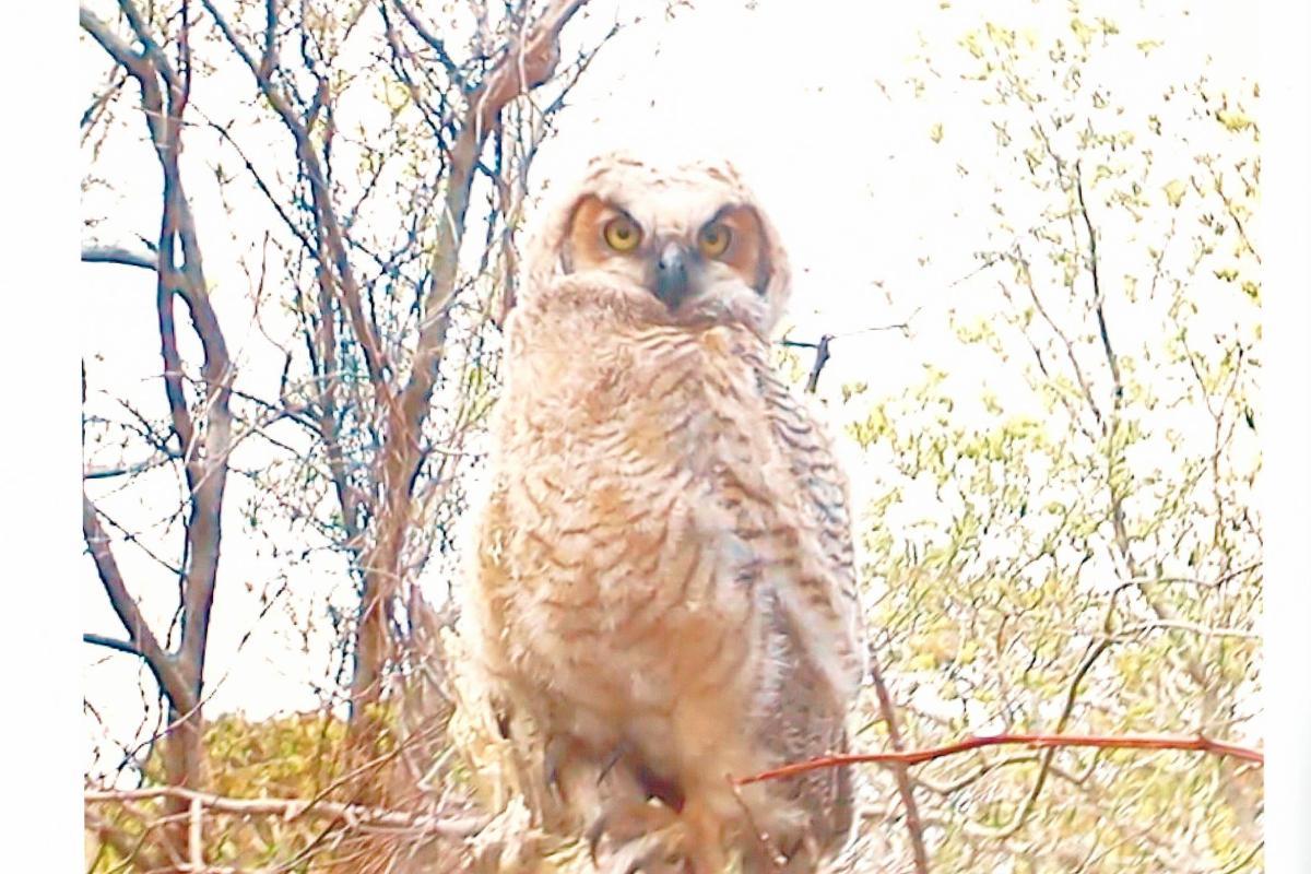 Owl in the field